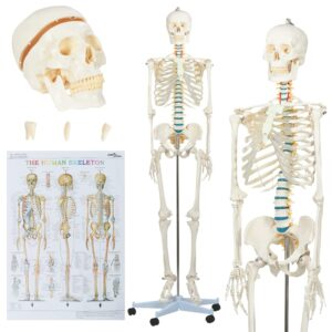 inimese anatoomia skeleti õppemudel plakatiga